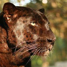 No filter needed! #leopard #bigcatrescue - Big Cat Rescue   Big Cat Rescue