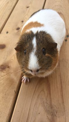 Spice. My guinea pig! ❤️ #HamsterGuide