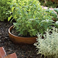 Mint - Spectacular Container Gardening Ideas - Southern Living