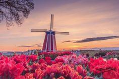 Tulip farm Woodburn, Oregon