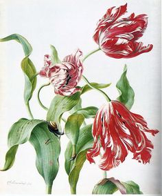 Three Tulips by Herman Henstenburg (1667-1726. Welcome to my gardening blog http://www.facebook.com/flowerindoorgardening #tulip  #flower #bulb