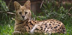 The Honolulu Zoo is Oahu's best family activity. Located in the heart of Waikiki, visitors can learn more about Hawaii's indigenous species. Honolulu Zoo, Oahu, Serval, Hawaiian Islands, Family Activities, Panther, Paradise, Animals, Hawaian Islands