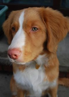 Brodie the Nova Scotia Duck Tolling Retriever,  know someome who has one of these dogs,  they are so beautiful and gentle