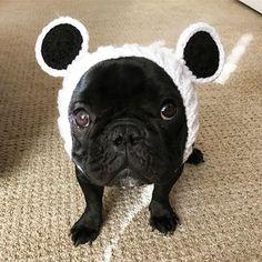 Flashing it back to PANDA PANDA PANDA PANDA! Auggie the French Bulldog Puppy, @auggiethefrenchie #FBF #flashbackfriday # #zoosnoods @zoosnoods,  #frenchbulldog #frenchbulldogsofinstagram #dog #themaxbone #puppy #dogsofinstagram #frenchie #bulldog #instapet #pet #ilovemydog #dogstagram #petstagram #bully #frenchbully #squishyfacecrew #frenchiegram #bullypics #theworldofbullies #instadog #puppysnaps #frenchiegram #barkleyshomies #mannysbuddyoftheweek #frenchiesoverload #frenchies