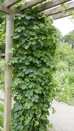 Seks kule klatreplanter du vil lykkes med - Tusenfryden Daisy Ring, Rainbow Roses, Planters, Herbs, Portal, Outdoors, Gardening, Terrace, Garten