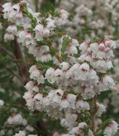 White flowered form,tinged pink Erica quadrangularis