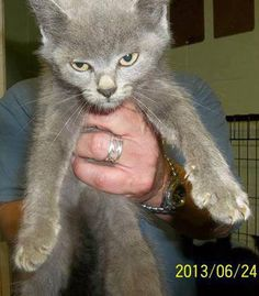 30 JUN @PM Z ET - 7TH DAY IN SHELTER .. $150 PLEDGED TO RESCUE SO FAR - NEEDS URGENT NETWORKING TO FIND FUNDING AND RESCUE - SHELTER CAT ROOM IS FILLING AGAIN, 42CATS LISTED NOW COLUMBUS COUNTY ANIMAL CONTROL, WHITEVILLE, NC SHELTER ID 24001 - RUSSIAN BLUE JUVENILE - SURRENDER 24 JUN - AVAILABLE NOW