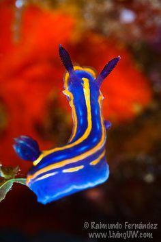 Hypselodoris tricolor--nudibranch