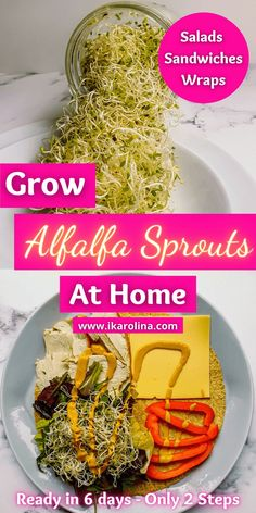 Grow Alfalfa Sprouts at home in 6 days. Great for adding into salads, sandwiches, burgers or wraps. These Alfalfa sprouts are the best inclusion you can make into your kitchen. They are easy to grow, no difficulty at all. Alfalfa seeds can be sprouted at home in a jar, and always have fresh healthy sprouts in your fridge. #garden #gardenindoor #recipes #benefits #growing #howtogrow #salads #recipesalads #weightloss #cleandiet #sandwich #diy #howtouse