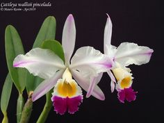 Cattleya Orchid, Butterflies, Flora, Shells, Plants, Pen And Wash, Diy And Crafts, Beautiful Flowers, Silk