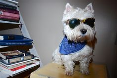 hipster Westie---could we get a shot of baxter playing on the computer? or reading?