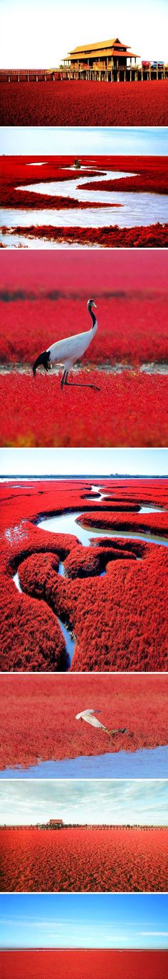 Red Beach in Panjin, China. The seaweed stays green all summer, then bursts into flaming red in autumn