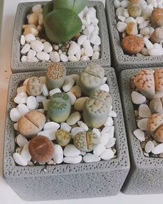 Lithops Lithops Succulent City succulentcity Living Stone Lithops Do you love the succies WE LOVE THEM TOO Check our nbsp hellip videos terrarium Propagating Succulents, Succulent Gardening, Succulent Care, Succulent Terrarium, Cacti And Succulents, Planting Succulents, Hanging Flower Baskets, Plant Guide, Dish Garden