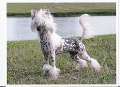 Another pretty Chinese Crested dog.  Love his coloring.