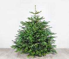Weihnachtsbaum - Der charmante Leander - 150 cm