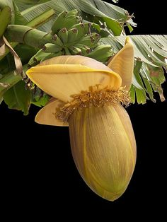Banana flower.#smells yummy                                                                                                                                                                                 More
