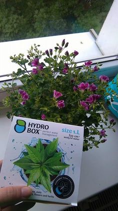 Pelargonia Angel Eyes na Hydroboxie. #hydrobox #hydroboxpl #pelargonia #pelargonium #kwiaty #kwiat #flowers #flowerpot #diy #ideas #dekoracje #homedecor