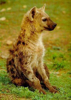 Beautiful hyena