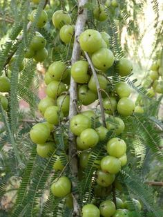 The Amla or Indian Gooseberry is a small leafy tree that grows throughout India and bears an edible fruit. This fruit is highly prized both for its high vitamin C content and for the precious oil, which is extracted from its seeds and pulp and used as a treatment for hair and scalp problems.