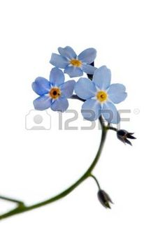 Close up of forget-me-not isolated on white. Stock Photo - 12441080