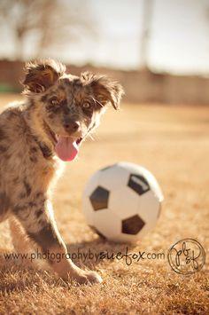 Photography by Sue Fox: Fur Babies  Aussie. Puppies.
