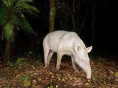 The first image of an albino tapir taken in the wild. Photo by Luciano Candisani courtesy of National Geographic