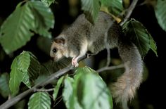 Loir Gris // Siebenschläfer // Arganaz Cinzento // Fat Dormouse (Glis Glis) #wildlife #nature #photography #animals #rodent #rongeur #mammals #cute #adorable