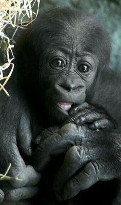 Primates - Baby Gorilla - photographer Siggi Nobel Cute Baby Animals, Animals And Pets, Funny Animals, Strange Animals, Baby Gorillas, Orangutans, Beautiful Creatures, Animals Beautiful, Cutest Animals