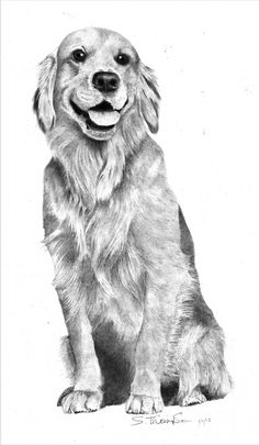 Pencil drawing of golden retreiver