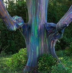Rainbow Eucaliptus