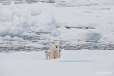Polar bear with two cubs. Greenpeace is campaigning for a global sanctuary to be declared around the uninhabited area of the North Pole.
