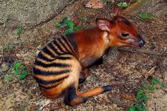 A small antelope from Africa, the Zebra Duiker has a gold or red-brown coat with obvious zebra (or tiger)-like stripes on its backside. They grow to be 45 centimetres in height and weigh up to 20 kilogrammes.    There are only around 28,000 individuals left in the wild.