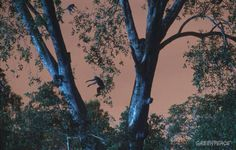 Proboscis monkeys jumping between trees.
