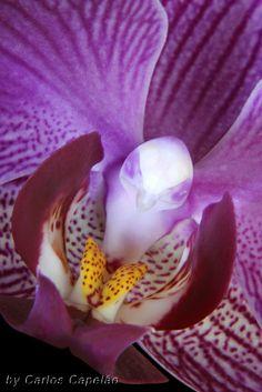 Macro of Moth-Orchid: Phalaenopsis - Flickr - Photo Sharing!
