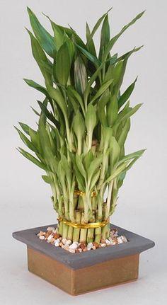 Lucky Bamboo (Lucky Bamboo)