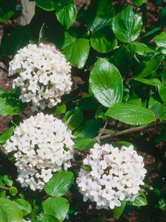The compact, semievergreen Burkwood Viburnum 'Anne Russell,' pictured here, produces clusters of intensely fragrant white flowers from mid- to late spring; plant it close to a seating area or pathway, in full or partial sun and well-drained or moist soil, to make the most of its scent. For an evergreen alternative, consider the David Viburnum, which whose dark green oval leaves give way to small white blooms in late spring. Both viburnums will grow up to 5 feet wide and 5 feet tall.