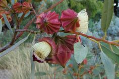 Eucalyptus kingsmillii - flower buds and flower just open, operculum still attached.
