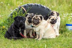 Pugs For Sale In Nigeria & Buying Tips - Pet Lovers Nigeria Pugs For Adoption, Buy A Pug, Brindle Pug, Pug Puppies For Sale, Fawn Pug, Black Pug, Dog Wear, Pet Lovers