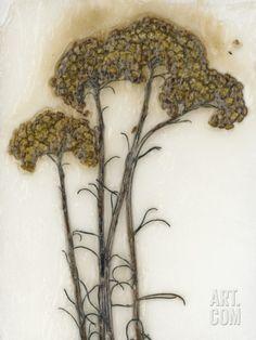 Helichrysum Photographic Print