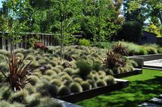 (grass and flax garden) blue fescue is backlit in a generous planting bed
