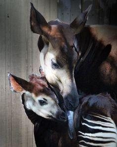 Okapi mother & calf by Marcia Siggins Jonas