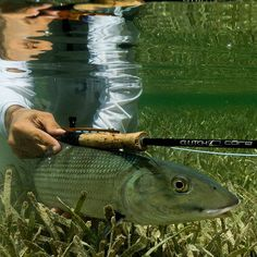 Giving this bonefish a workout with my Core  Clutch Fly Rod  #bonefish #flyfishing #fishing #pesca #macabi #flyfishingjunkie #flats #flatsfishing #clutchflyrods #nature #catchandrelease #keepemwet    @clutchflyrods @scientificanglers @olefloridaflyshop @nautilusflyreels   Ph @violetabergonzi