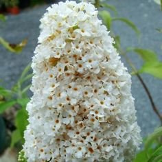 Buddleja davidii Butterfly Bush, White Butterfly, White Flowers, Types Of Soil, Soil Type, Buddleja Davidii, Black Eyed Susan, Yellow Eyes
