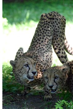 Conserving our natural world is everyone's responsibility.  International Cheetah Day is December 4th.
