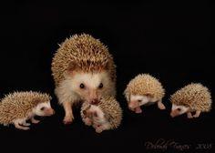 metallic print hedgehog family by livingwithart on Etsy Hedgehog Care, Happy Hedgehog, Pygmy Hedgehog, Cute Hedgehog, Super Cute Animals, Cute Little Animals, Baby Animals, Cute Creatures, Beautiful Creatures