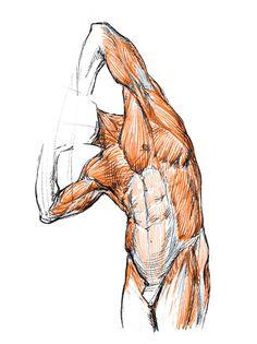 Human Anatomy Drawing, Human Figure Drawing, Figure Drawing Reference, Body Drawing, Anatomy Reference, Art Reference Poses, Anatomy Poses, Anatomy Art, Anatomy Sketches