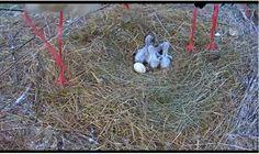 Čáp bílý – hnízdo webkamera