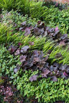 Hakonechloa ornamental grass gold yellow foliage with purple leaves of Heuchera Palace Purple for contrasts
