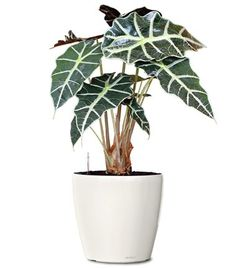 Small Ornamental Plant - African Mask Elephant's Ear Ornamental Plant - Alocasia amazonica Polly (Web)