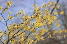 extracts of the witch hazel tree help treat a myriad of scrapes, wounds, aches, and bruises